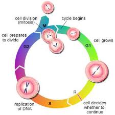 life cycle of cell